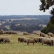 mob of sheep grazing green pasture