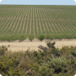 Almonds under irrigation in the Midlands