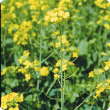 Picture of a Canola Flower