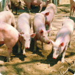Several young pigs in a free range yard.
