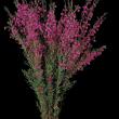 A bunch of Boronia heterophylla
