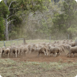 Weaner Merinos leaving the yards after being checked for flystrike.