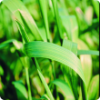 A leaf on a cereal crop showing stripes of yellow, light green and dark green. and