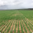 Trojan wheat sown into the spray trial, photo taken 27 June 2017.