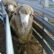 Sheep with photosensitisation; exposed raw tissue on the face and muzzle