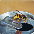 European wasp on soft drink can