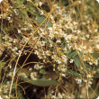 Golden dodder (Cuscuta campestris) infestation