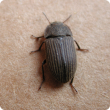 Vegetable beetle adult
