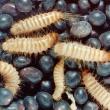 Warehouse beetle larvae