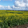 weeds in canola image