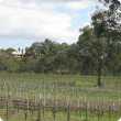 Vineyard in the north of the Swan Valley