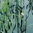 Sagittaria - Sagittaria platyphylla