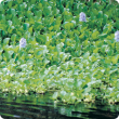 Water hyacinth (Eichhornia crassipes) infestation
