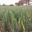 Pale necrotic flag leaf and emerging head are common symptoms at head emergence
