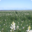 Flowering lupin crop