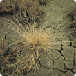 Photograph of a dry puccinellia plant on a saline clay soil.