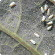 Whitefly adults lay eggs on the lower side of young leaves