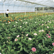 Greenhouse gerbera production