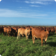 Cattle grazing Rhodes grass with irrigation centre pivot in background