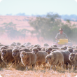 Sheep being mustered in paddock