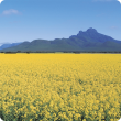Canola in the Stirling Ranges