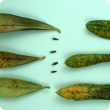 Typical OLB damage and symptoms on the lower (left) and upper (right) surface of leaves (cm scale on far left side). Some adult OLB's are shown to indicate size.