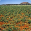 Photograph of a dense ribbon grass pasture in good condition