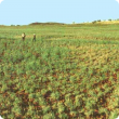 Photograph of a dense stand of barley Mitchell grass in good condition in the PIlbara