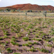 Photograph of a hard spinifex grassland of limestone spinifex in good condition
