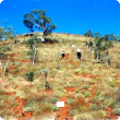 Photograph of a hummock grassland of echidna spinifex with an overstorey of snappy gum in good condition