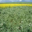 Field pea crop