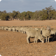 Sheep being trail fed