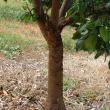 Citrus aphids on trunk