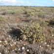 Female bladder saltbush plant in foreground.