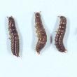 Bronzed field beetle larvae