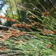 African CApe rush (Elegia tectorum)