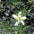 White African rue flower with succulent leaves.