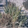 Photograph of a samphire plant on a saline site