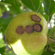 Apple fruit showing the circular scab lesions of severe apple scab infection, note the circular corcky nature of the lesion with a thin white then black border.