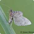 Adult looper moths are about 8 millimeters long and have a wingspan of around 15 millimeters. They are grey with brown bands across the wings and lay eggs singly. Photo courtesy J Horsnell , Charles Sturt Uni