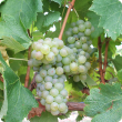 Arneis wine grape