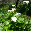 Arum lily flowers on long stalks
