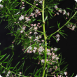Asparagus aethiopicus flowering branch