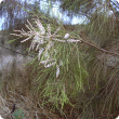 Athel pine branch and flowers