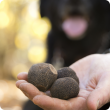 WA truffles with dog in background