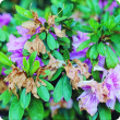 Azalea bush with pink flowers which are turning brown on the edges.