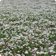 Sward of flowering balansa clover