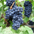 Barbera wine grapes