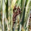 A close up of barley heads affected with loose smut