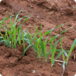 Barley seedlings